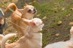 Plan rapproché de chien de chiwawa Photo libre de droits