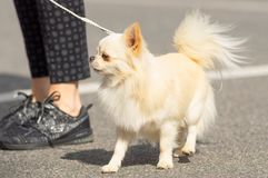 Plan rapproché de chien de chiwawa Photographie stock libre de droits