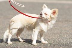 Plan rapproché de chien de chiwawa Photographie stock