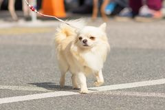 Plan rapproché de chien de chiwawa Photos stock