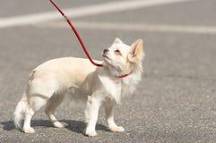 Plan rapproché de chien de chiwawa Image stock