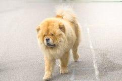 Plan rapproché de chien de chow-chow Photos libres de droits