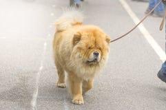 Plan rapproché de chien de chow-chow Image stock