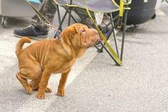 Plan rapproché de chien de chow-chow Photos stock