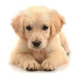 Plan rapproché de chien d'arrêt d'or Image stock