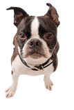 Plan rapproché de chien de Boston Terrier image libre de droits