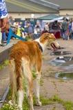 Plan rapproché de chien de chasse Images libres de droits