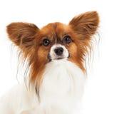 Plan rapproché de chien de Papillon Photographie stock
