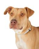Plan rapproché de chien de race de mélange de bull-terrier du Staffordshire Image libre de droits