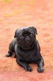 Plan rapproché de chien de roquet Photos stock