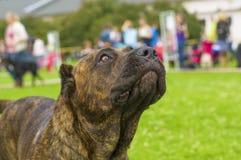 Plan rapproché de chien de rottweiler Image stock