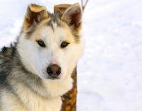 Plan rapproché de chien de traîneau sibérien de chiot de chien de traîneau Photographie stock