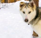 Plan rapproché de chien de traîneau sibérien de chiot de chien de traîneau Photo libre de droits