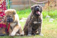 Plan rapproché de chien de garde Image stock