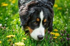 Plan rapproché de chien de montagne de Bernese de tête de chien Berner Sennenhund Photographie stock libre de droits