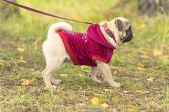 Plan rapproché de chien de roquet Photographie stock libre de droits