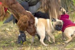 Plan rapproché de chien de roquet Photo libre de droits