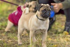 Plan rapproché de chien de roquet Image libre de droits