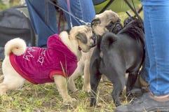 Plan rapproché de chien de roquet Photographie stock