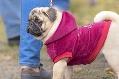 Plan rapproché de chien de roquet Images libres de droits