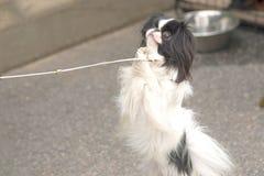 Plan rapproché de chien de roquet Images stock