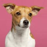 Plan rapproché de chien terrier de Jack Russell, 10 mois Photographie stock
