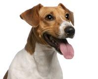 Plan rapproché de chien terrier de Jack Russell, 12 mois Image libre de droits