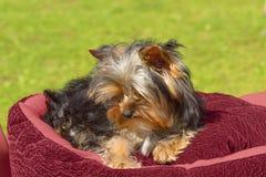Plan rapproché de chien terrier de Yorkshire Photographie stock