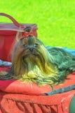 Plan rapproché de chien terrier de Yorkshire Photo libre de droits