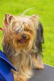 Plan rapproché de chien terrier de Yorkshire Photo stock