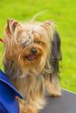 Plan rapproché de chien terrier de Yorkshire Photo stock