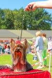 Plan rapproché de chien terrier de Yorkshire Images stock