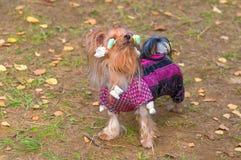 Plan rapproché de chien terrier de Yorkshire Image libre de droits