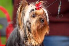 Plan rapproché de chien terrier de Yorkshire Images libres de droits