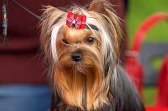 Plan rapproché de chien terrier de Yorkshire Image stock