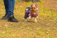 Plan rapproché de chien terrier de Yorkshire Photos libres de droits