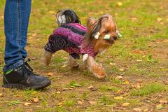 Plan rapproché de chien terrier de Yorkshire Photos stock