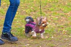 Plan rapproché de chien terrier de Yorkshire Photographie stock libre de droits