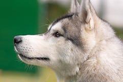 Plan rapproché de chien de traîneau sibérien Photos stock