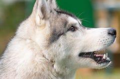 Plan rapproché de chien de traîneau sibérien Images stock