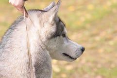 Plan rapproché de chien de traîneau sibérien Photographie stock