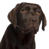 Plan rapproché de chiot de chien d'arrêt de Labrador Photographie stock libre de droits