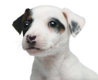 Plan rapproché de chiot de chien terrier de Jack Russell, Photos libres de droits