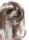 Plan rapproché de chiwawa avec la longue perruque de cheveu Image libre de droits