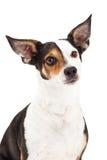 Plan rapproché de chiwawa et de race mélangée par Terrier Photos stock