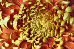 Plan rapproché de chrysanthemum Photographie stock