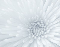 Plan rapproché de chrysanthemum Photos stock