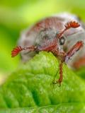 Plan rapproché de coléoptère photographie stock libre de droits