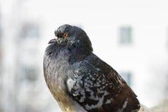 Plan rapproché de colombe Images stock