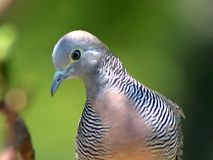 Plan rapproché de colombe de zèbre Photographie stock libre de droits